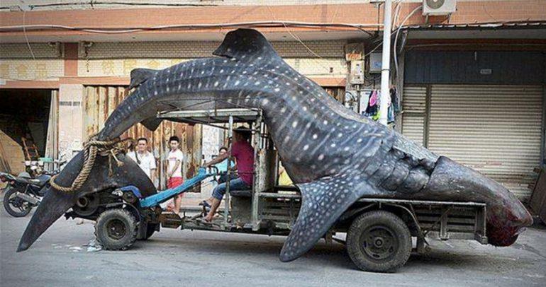 هل تذكرون الرجل الذي نقل سمكة قرش على سطح سيارته!